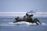 流氷上のトドの群れ 32057000050| 写真素材・ストックフォト・画像・イラスト素材|アマナイメージズ
