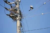 電柱に営巣したカササギ
