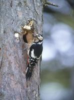 巣にエサ運ぶアカゲラのメス