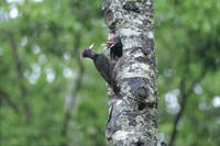 雨の中、巣のヒナに給餌するクマゲラのメス