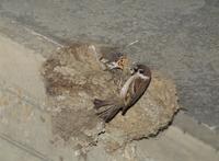 イワツバメの巣に営巣するスズメ