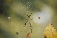 巣で獲物を待つジョロウグモ