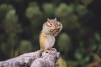 巣材をくわえたエゾシマリス 32060000050| 写真素材・ストックフォト・画像・イラスト素材|アマナイメージズ