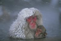 降雪のなか、温泉につかるニホンザルの親子