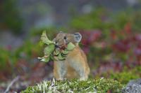 木の葉を運ぶエゾナキウサギ