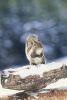 冬毛のニホンリス