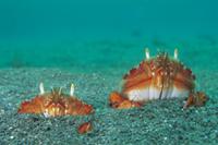砂に潜るアサヒガニ 32061000199| 写真素材・ストックフォト・画像・イラスト素材|アマナイメージズ
