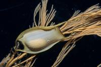 ナヌカザメの卵