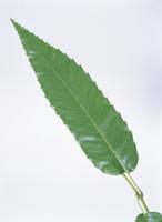 クヌギの葉(表)