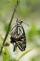アゲハ(ナミアゲハ) 羽化 翅を伸ばすI
