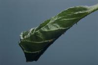 ミドリシジミの幼虫の巣 ハンノキ
