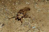クマゼミの幼虫 土の中から出てくる