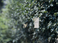 アゲハチョウのオス 誘引実験B