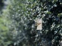 アゲハチョウのオス 誘引実験C