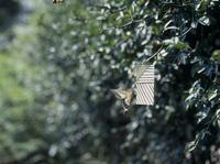 アゲハチョウのオス 誘引実験D