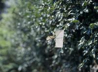 アゲハチョウのオス 誘引実験E