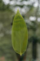クマザサの葉