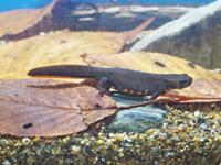 水底を歩くアカハライモリ