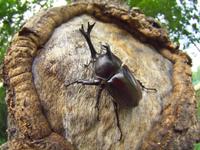 クヌギの樹のカブトムシ 32067000438| 写真素材・ストックフォト・画像・イラスト素材|アマナイメージズ