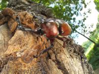 樹液に来たカブトムシ