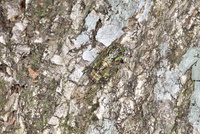 樹の幹のエゾハルゼミ