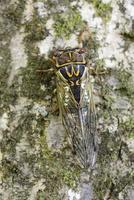 木の幹のエゾゼミのメス