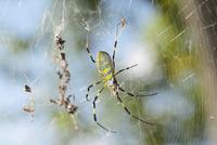 林に巣を張っていたジョロウグモ