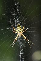 草地に巣を張っているナガコガネグモ