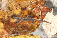 沢沿いの石の下に潜んでいたツクバハコネサンショウウオ 32067003211| 写真素材・ストックフォト・画像・イラスト素材|アマナイメージズ