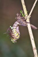 川原の木の小枝で羽化するムカシトンボのオス 3-1