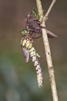 川原の木の小枝で羽化するムカシトンボのオス 3-2