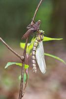 川原の木の小枝で羽化し、翅を伸ばしているムカシトンボのメス