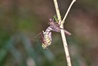 川原の木の小枝で羽化するムカシトンボのオス