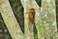 木にとまるアカエゾゼミ
