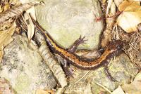 落ち葉の上を歩くツクバハコネサンショウウオ 32067004355| 写真素材・ストックフォト・画像・イラスト素材|アマナイメージズ