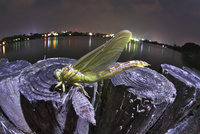 湖岸のくいで羽化したウチワヤンマ