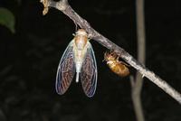 小枝で羽化したヒメハルゼミ