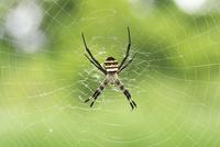 草原に巣を張るコガネグモ