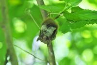木の小枝にぶら下がっていたコテングコウモリ