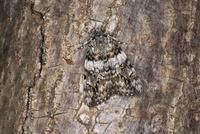 樹の幹のマメキシタバ