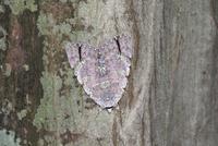 樹の幹のシロシタバ