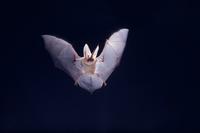 ウサギコウモリ 飛ぶ