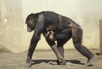 チンパンジーの親子 子は母親のお腹にしっかりつかまっている