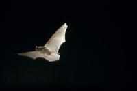 アブラコウモリ 飛ぶ