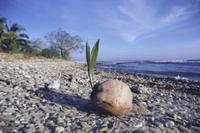 海岸に打ち上げられ、芽生えたココヤシ