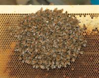 ミツバチ(セイヨウミツバチ) 越冬 巣箱