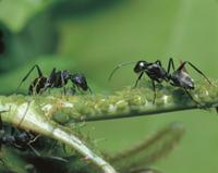 アブラムシから蜜をもらうクロオオアリ 32070000126| 写真素材・ストックフォト・画像・イラスト素材|アマナイメージズ