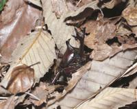 羽化後、地上に出たカブトムシのオス