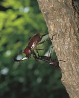 カブトムシとノコギリクワガタの闘い