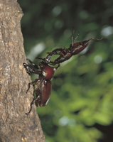樹上のカブトムシとノコギリクワガタのオス同士の闘い